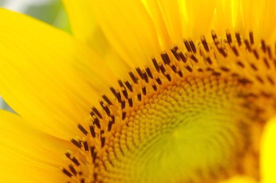 太阳花向日葵唯美图片桌