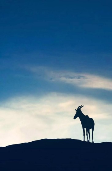 遠處的麋鹿高清手機壁紙