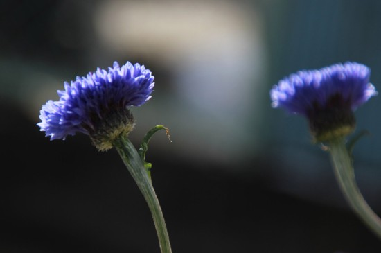 漂亮的矢车菊唯美高清桌面壁纸