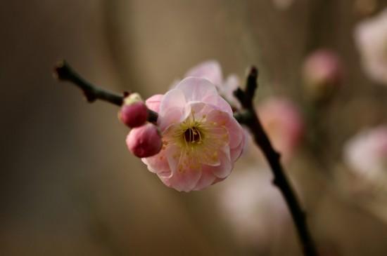 <漂亮的梅花唯美高清桌面壁纸