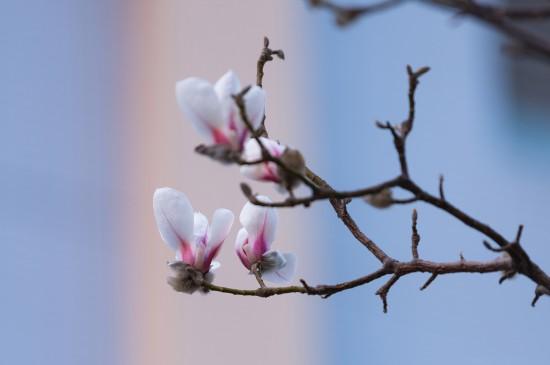 初春玉兰花唯美高清桌面
