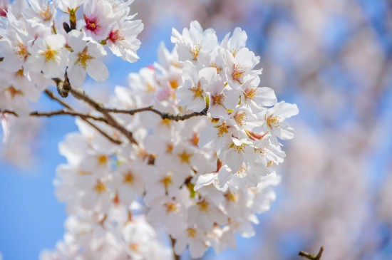 <唯美绽放的樱花风景图片桌面壁纸