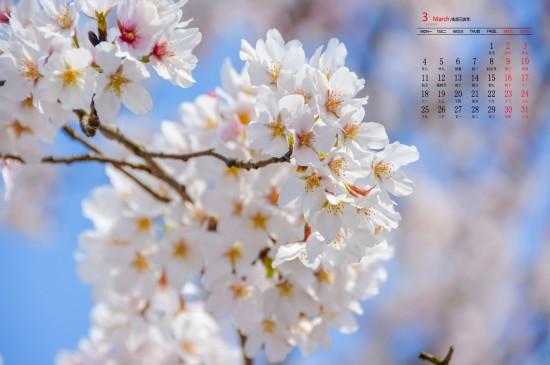 2019年3月唯美好看的樱花图片日历壁纸