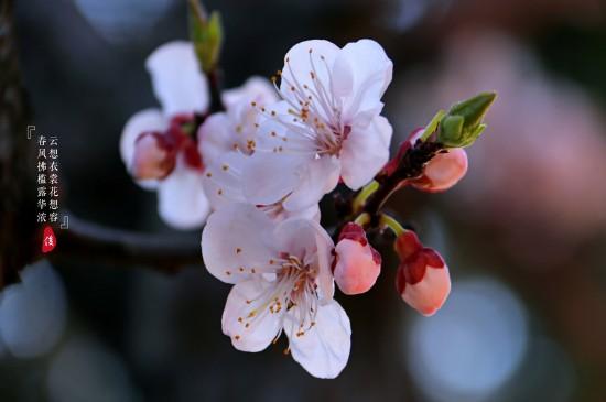 <春日唯美杏花摄影高清桌面壁纸