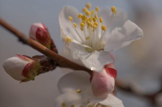 <漂亮的山桃花高清桌面壁纸