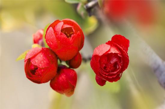 <唯美雨后海棠高清桌面壁纸