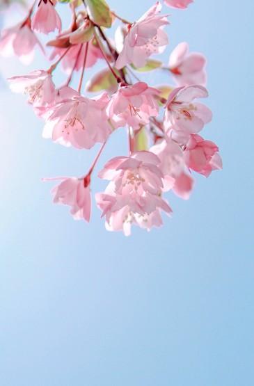 清新唯美花卉图片手机壁