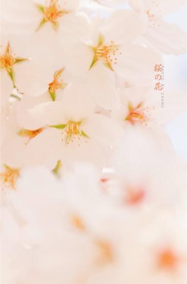 清新春日樱花高清桌面壁纸