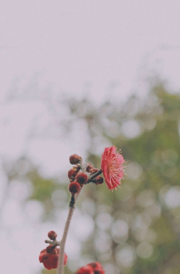 清新粉嫩桃花图片手机壁纸