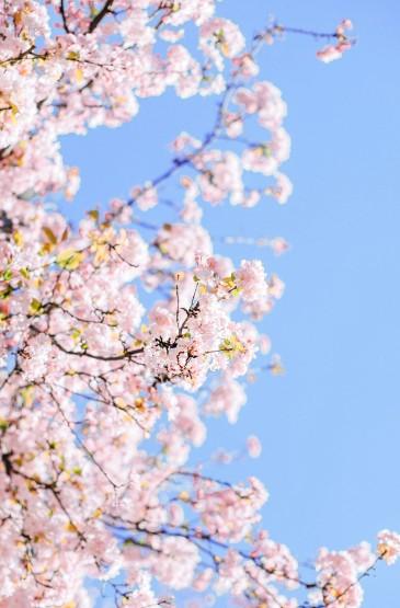 粉色樱花手机壁纸图片