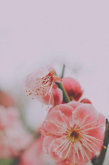 清新唯美桃花摄影高清图片手机壁纸