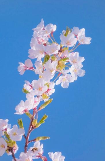 唯美粉嫩樱花图片手机壁纸