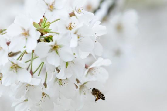 烂漫纯白樱花唯美高清桌面壁纸