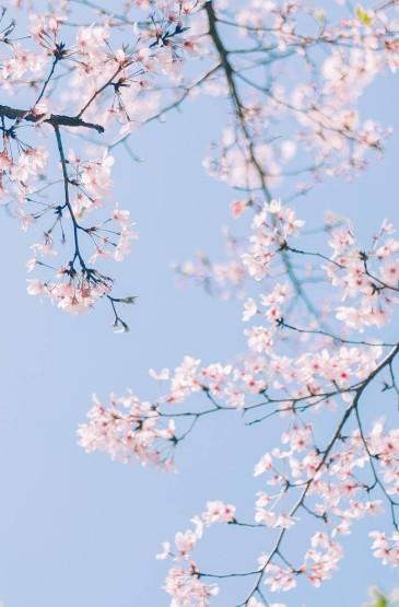 小清新唯美樱花高清手机