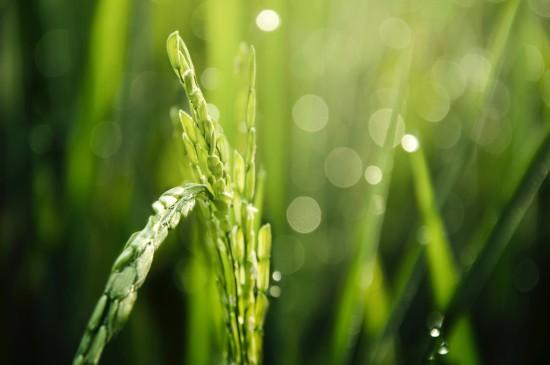 绿色小麦高清护眼电脑壁纸