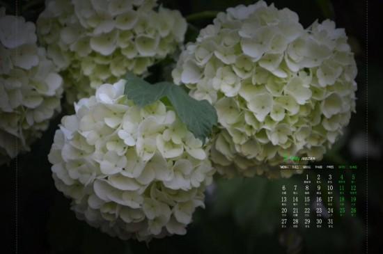 2019年5月可爱的绣球花高清日历壁纸