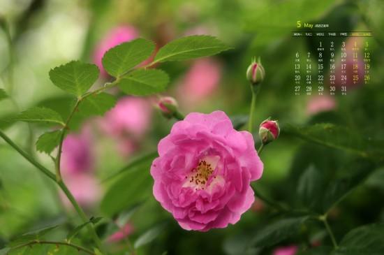 2019年5月唯美蔷薇花高清日历壁纸