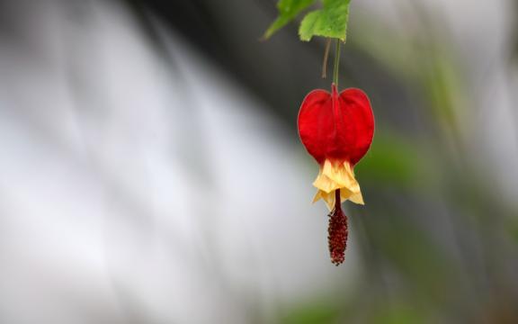 红色的灯笼花