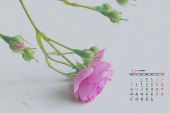 2019年5月粉色蔷薇花唯美高清日历壁纸