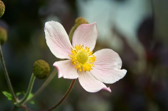 欧洲银莲花唯美图片桌面壁纸