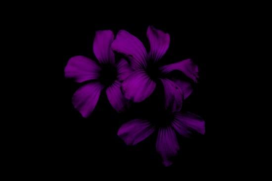 唯美紫色花卉摄影图片桌面壁纸