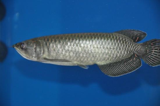 星点龙鱼图片  观赏鱼星点龙鱼图片