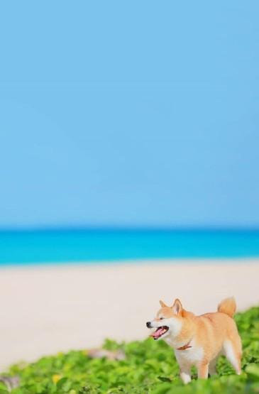 可爱呆萌的柴犬图片手机壁纸