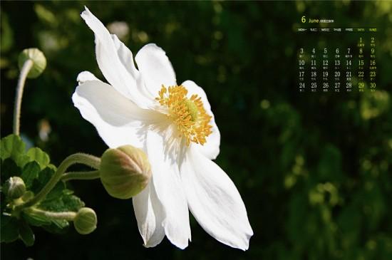 2019年6月纯白银莲花唯美高清日历壁纸