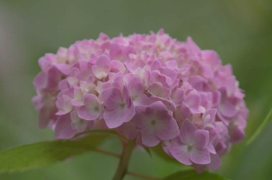 五彩绣球花唯美高清桌面壁纸