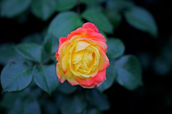 七彩月季唯美花卉高清桌面壁纸
