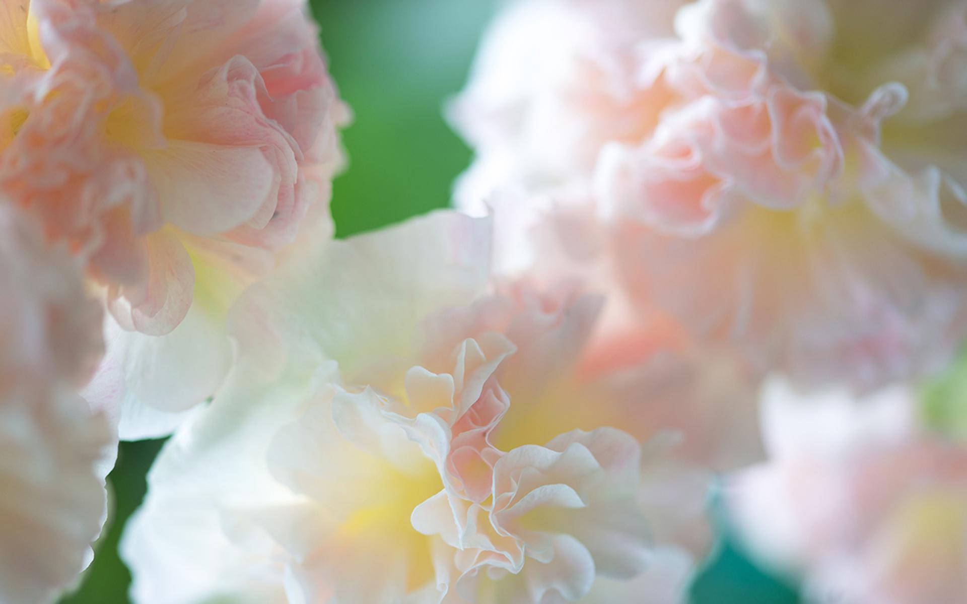 梦幻鲜花唯美花卉植物高清桌面壁纸