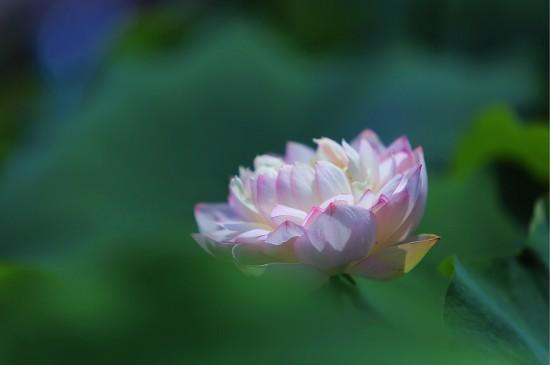 小清新唯美荷花花卉高清桌面壁纸