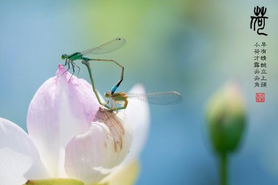 荷尖蜻蜓唯美高清桌面壁