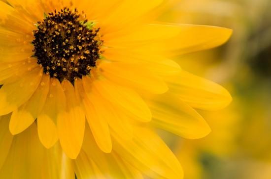 盛开的向日葵花卉植物唯美高清桌面壁纸