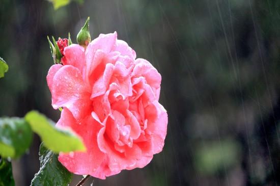 雨后浪漫玫瑰花瓣美丽五