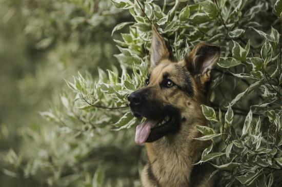 霸道总裁德国牧羊犬主题
