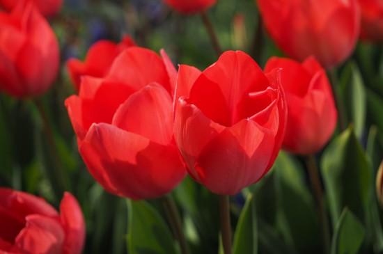 <唯美郁金香植物花卉图片桌面壁纸