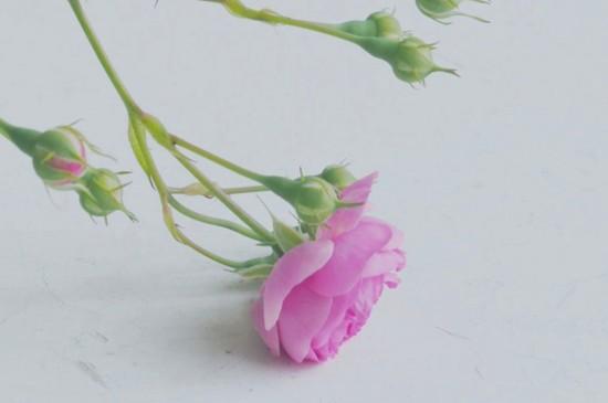 <粉色蔷薇花唯美高清桌面壁纸