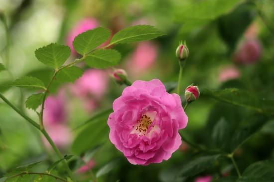 <唯美蔷薇花高清桌面壁纸