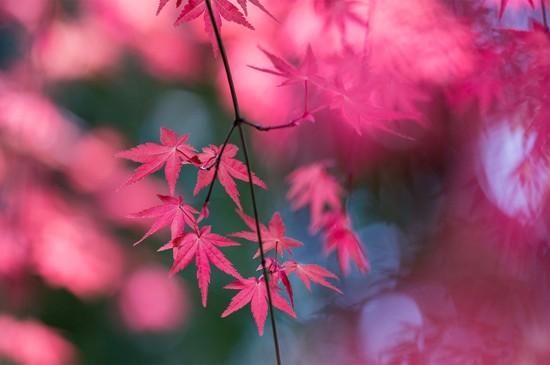 <秋季唯美枫叶图片桌面壁纸