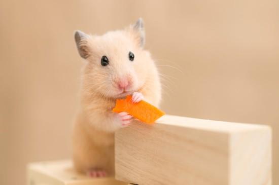 可爱的仓鼠唯美高清桌面