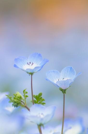 清新淡雅的花卉图片手机壁纸