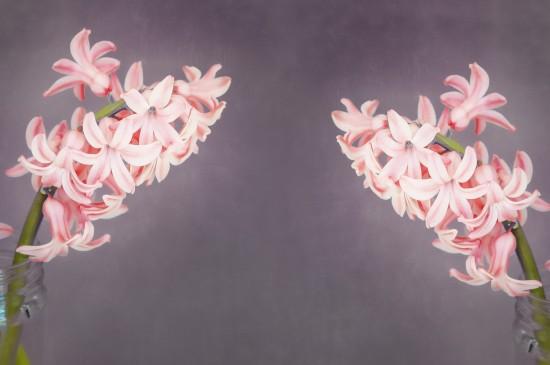 粉色風信子唯美圖片桌面壁紙