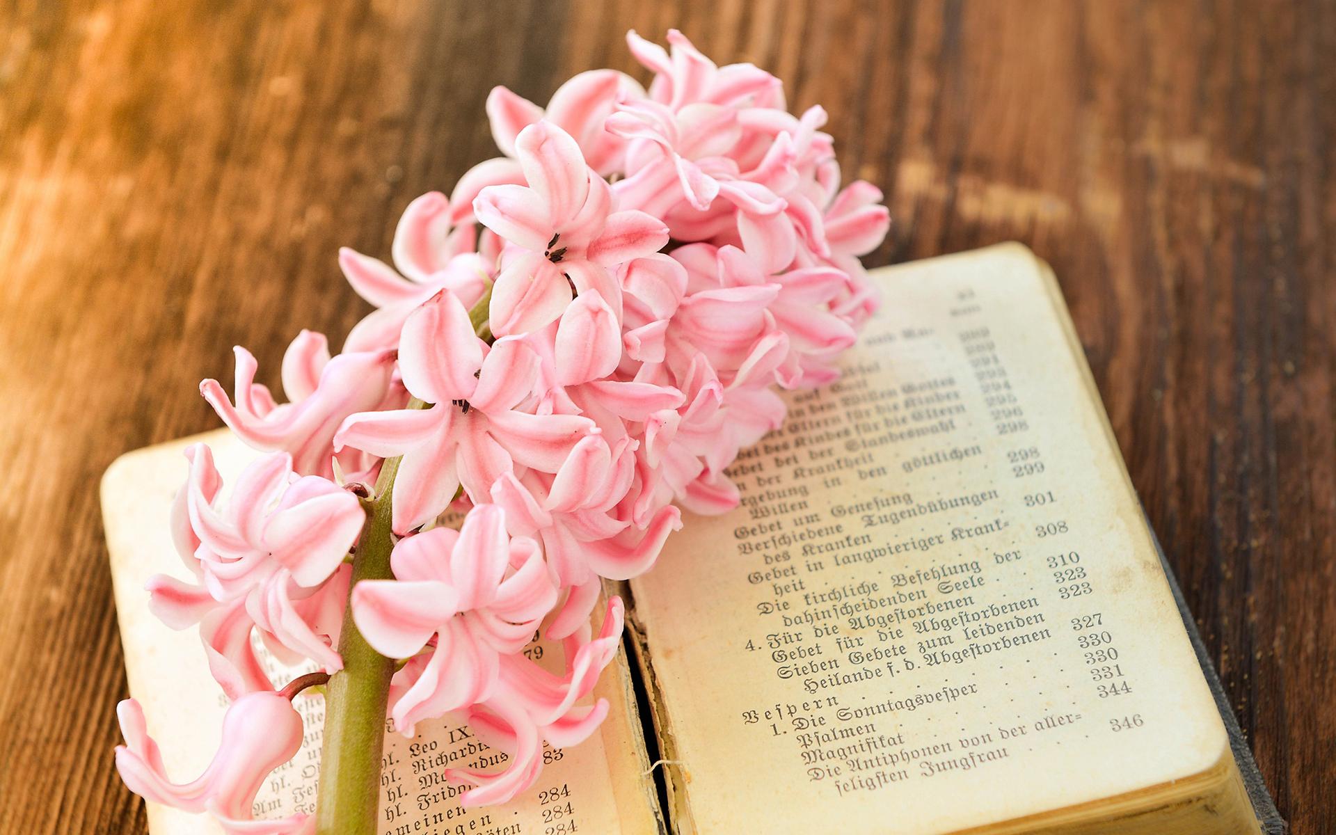 粉色风信子唯美花卉桌面图片