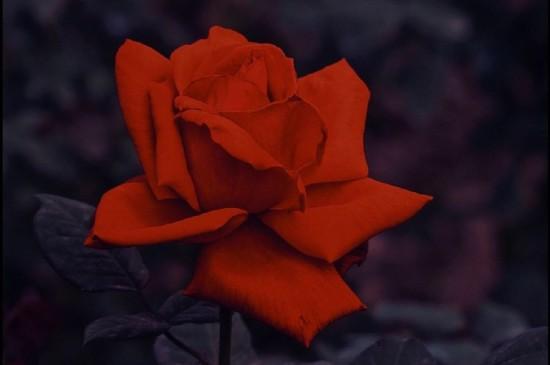 娇艳迷人的玫瑰花桌面壁纸