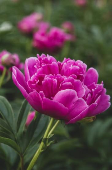 近距花朵圖片攝影手機壁紙
