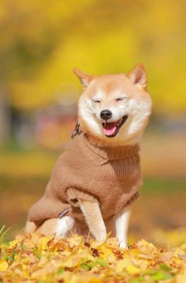 萌寵秋田犬可愛動物手機壁紙