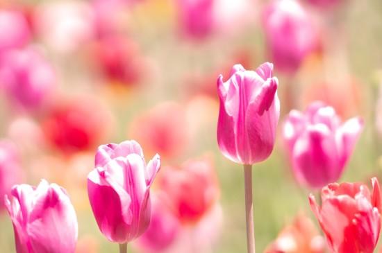粉色郁金香唯美圖片桌面壁紙