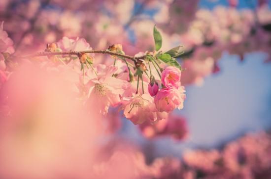<唯美浪漫的樱花风景桌面壁纸