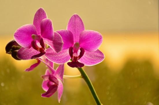 唯美蝴蝶蘭花卉圖片桌面